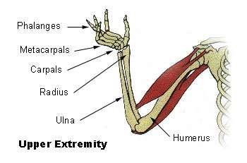 diagram of arm bones and wrist