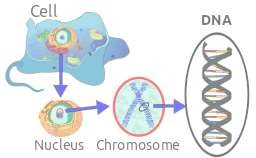 DNA in Eukaryote cell