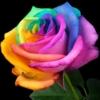 UK-Rose