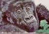 gorillagirl