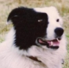 Collie_Dog