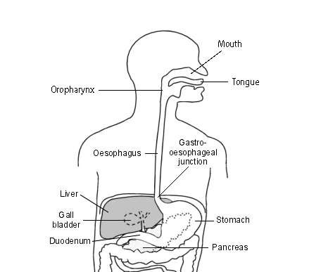 The oropharynx and oesophagus
