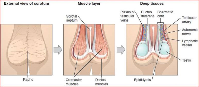 Musculature and inner workings of the scrotum (Wikimedia Commons)