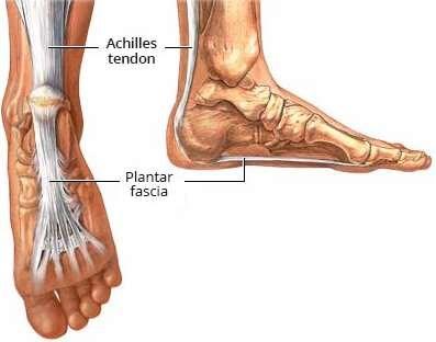 Plantar fascia and Achilles tendon
