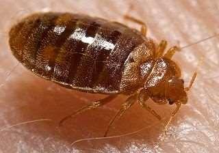 Bed Bug, CDC/Harvard University via http://commons.wikimedia.org/wiki/File:Bed_bug,_Cimex_lectularius.jpg