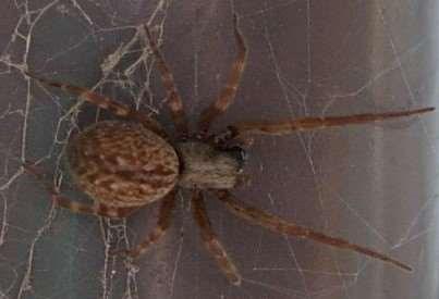 BLACK HOUSE WINDOW SPIDER