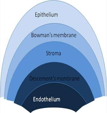 Corneal structure