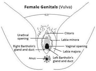 The clitoris labia