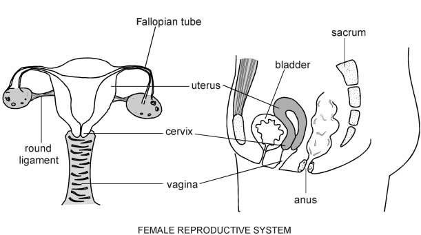 Uterine cervix and common cervical abnormalities patient anatomy of the cervix ccuart Image collections