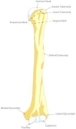 Humerus Front