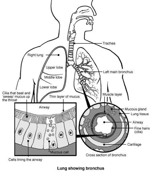 Lung   Bronchi