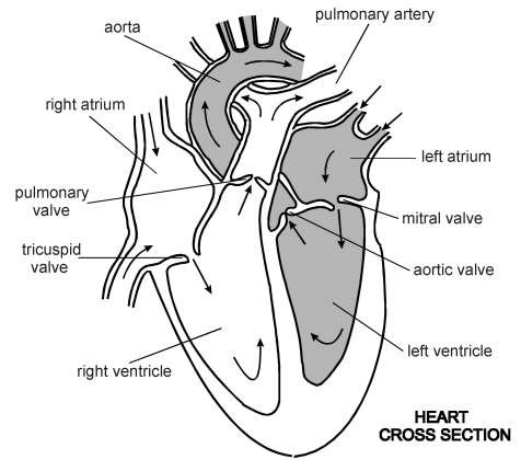 Diagram of the heart heart cross section diagram patient ccuart Choice Image