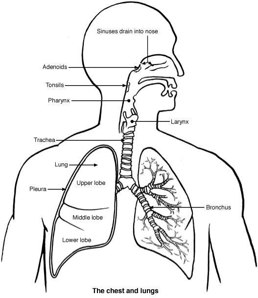 Lungs diagram patient lungs diagram ccuart Images