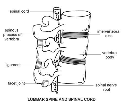 Lumbar spine and spinal cord