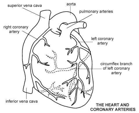 Heart coronary arteries diagram patient heart coronary arteries diagram ccuart Images