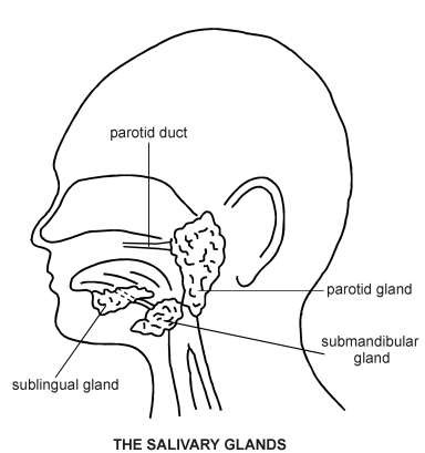salivary glands diagram patient diagram of saliva