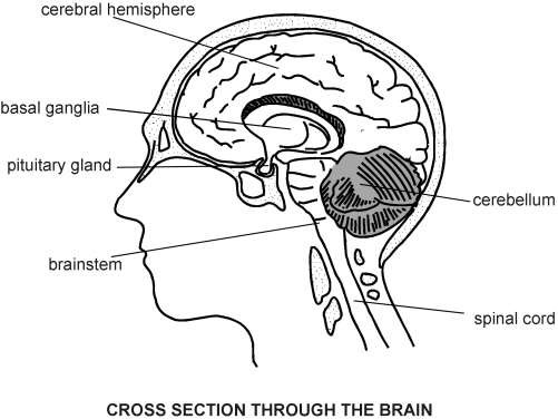 Cross section of brain sectional ideas brain cross section diagram patient sciox Image collections