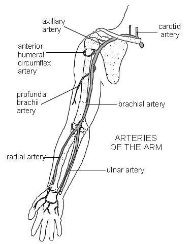 Top Of Arm Arm Veins Diagram