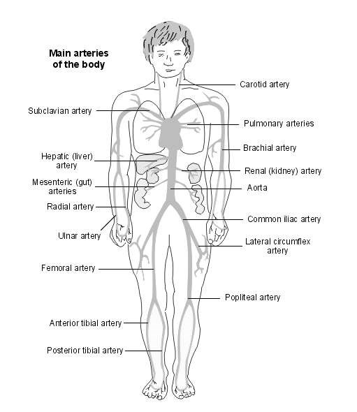 arteries of the body