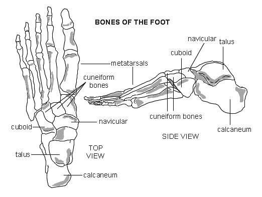 Toe Bone Diagram - Electrical Work Wiring Diagram •