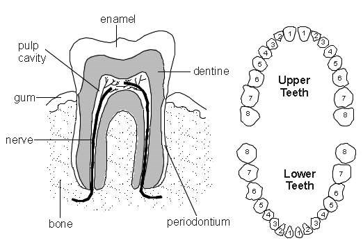 Upper Jaw Tooth Diagram Library Of Wiring Diagram