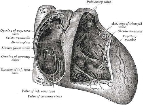 interatrial septum