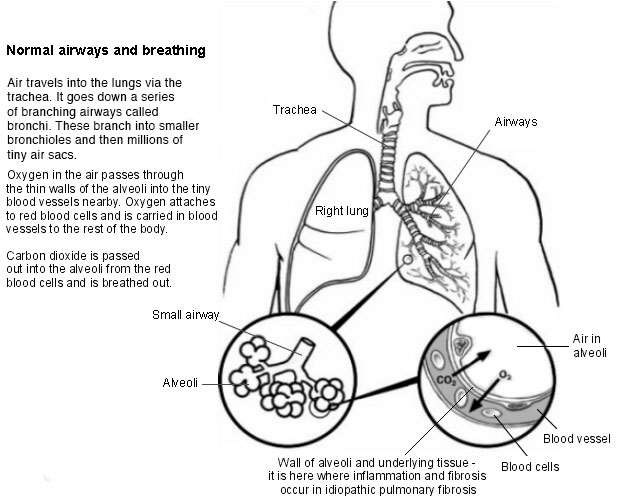 Lungs and airways - normal breathing