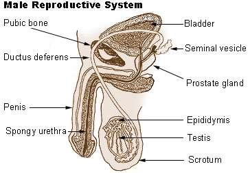 Male reproductive system (Wiki)