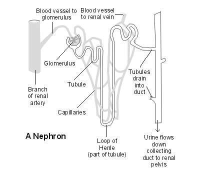 What Do Kidneys Do Kidneys And Urinary Tract Anatomy Patient