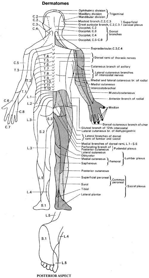 DERMATOME DISTRIBUTION (2)