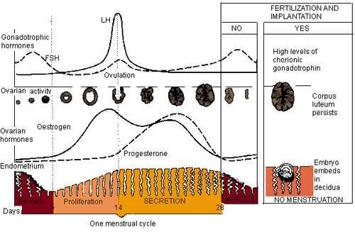 MENSTRUAL CYCLE DIAGRAM