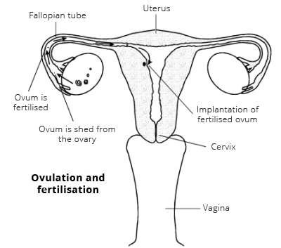 Ovulation and fertilisation