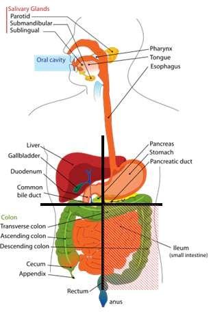 Right and Left Upper Quadrant Organs