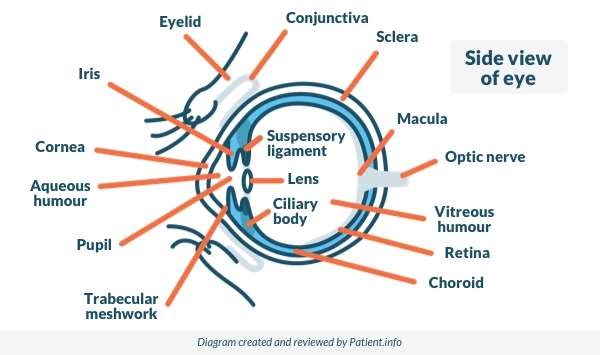 Side View of the Eye