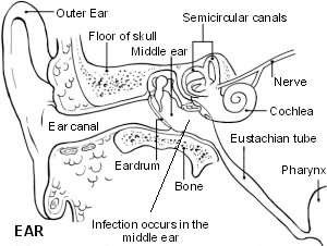 The ear showing otitis media